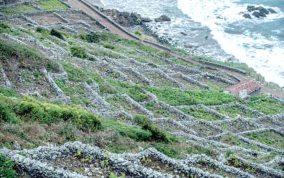 Projecto de recuperação salva da extinção  castas tradicionais de uvas nos Açores